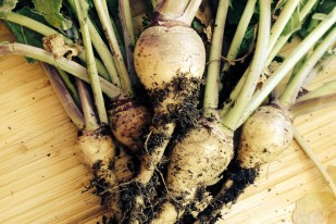 In the Garden: Turnips