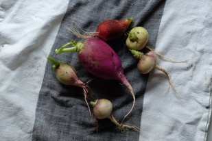 in the garden: radishes